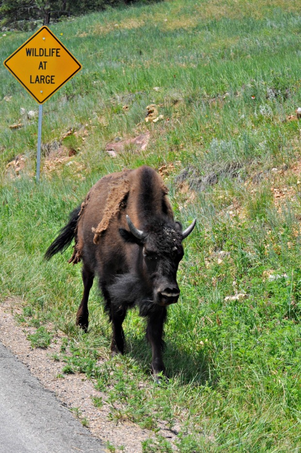 Wildlife at Large throughout Custer State Park